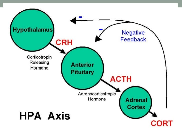 hypothalamic u2013pituitary u2013adrenal axis