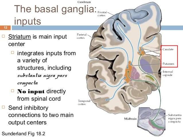 Substantia Nigra And Basal Ganglia | giftsforsubs