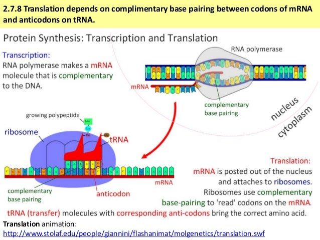 Transcription And Translation Diagram