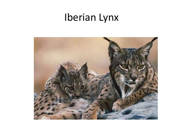 Iberian lynx (2)