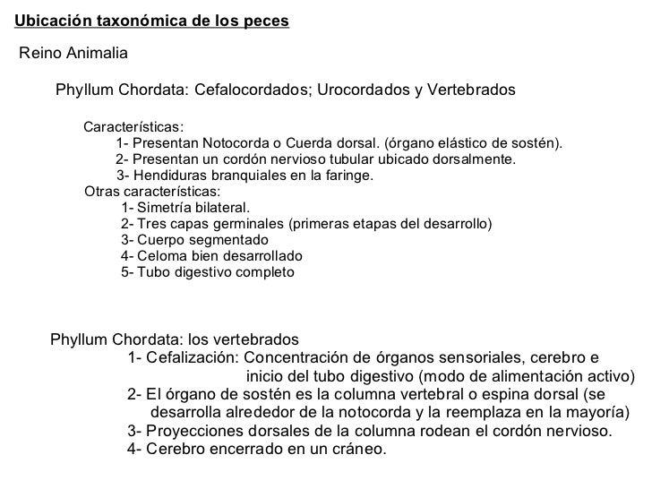 Ubicación taxonómica de los peces Reino Animalia Phyllum Chordata: Cefalocordados; Urocordados y Vertebrados  Característi...