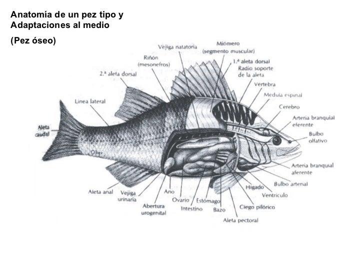 Anatomía de un pez tipo y Adaptaciones al medio  (Pez óseo)