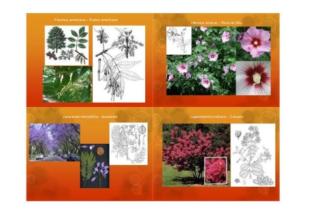 Fraxinus americana – Fresno americano                                        Hibiscus siriacus – Rosa de Siria    Jacarand...