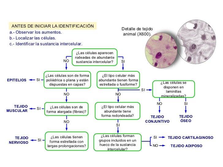 Identificación tejidos animales