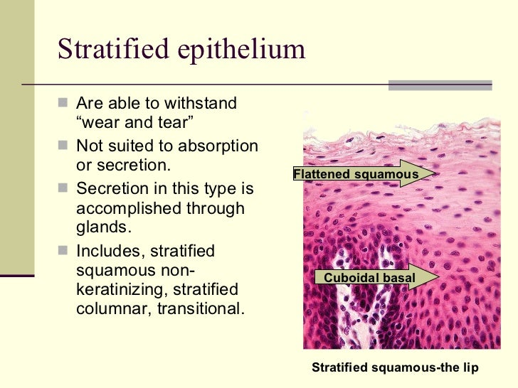epithelial tissue essay Package title: testbank course title: pap 13 chapter number: 04 question type:  multiple choice which of the following is not one of the main tissue types found.