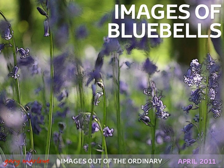 IMAGES OF                              BLUEBELLS