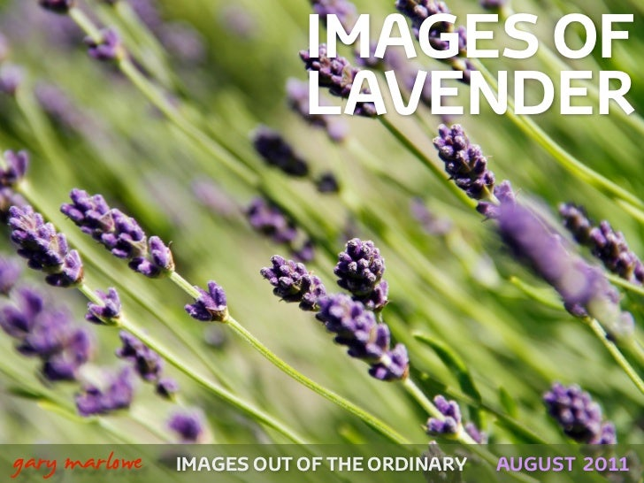IMAGES OF                              LAVENDER!    gary marlowe   IMAGES OUT OF THE ORDINARY   AUGUST 2011