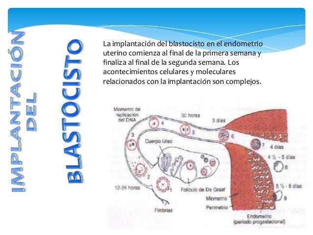 La implantación del blastocisto en el endometrio uterino comienza al final de la primera semana y finaliza al final de la ...