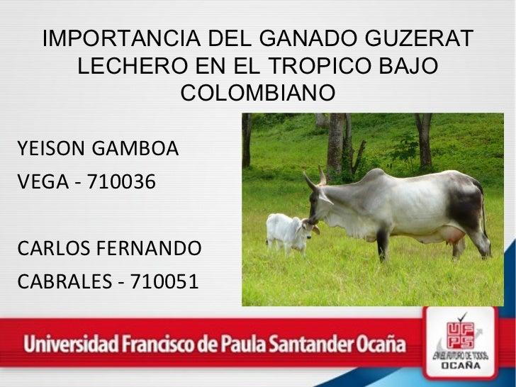 Importancia del ganado guzerat en el tropico bajo colombiano
