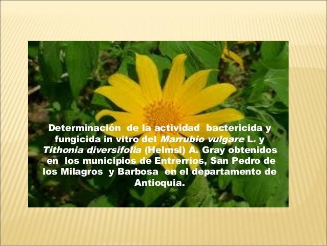 Determinación de la actividad bactericida y fungicida in vitro del Marrubio vulgare L. y Tithonia diversifolia (Helmsl) A....