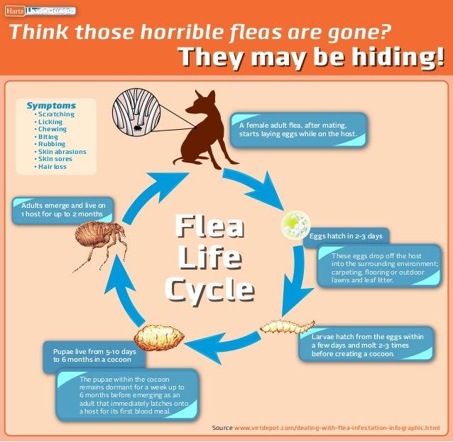 Hartz Mountain Infographic of Flea Lifecycle