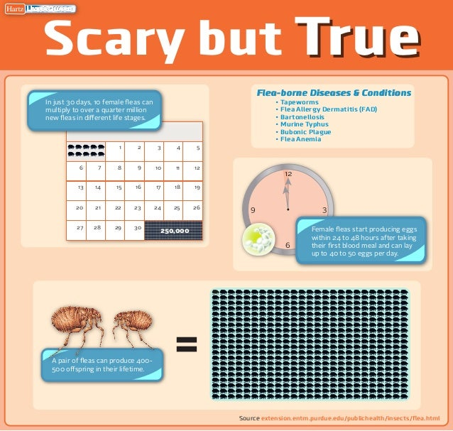 Hartz Mountain Infographic - Flea Reproduction