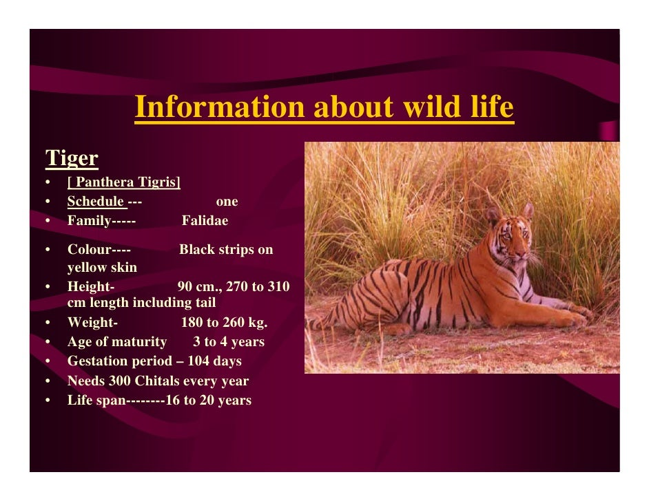 Information about wild life Tiger •   [ Panthera Tigris] •   Schedule ---            one •   Family-----        Falidae • ...