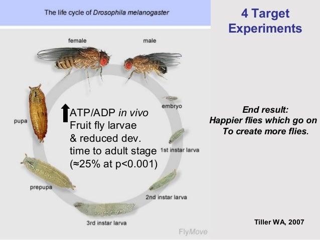 Housefly life cycle