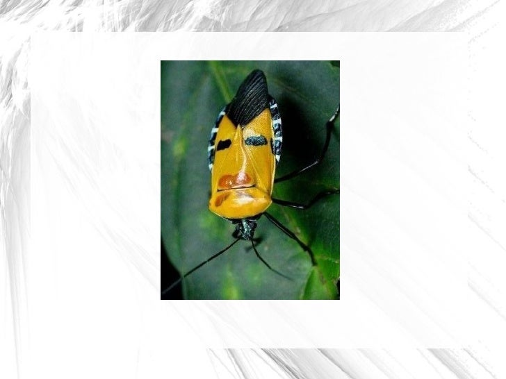 Human faces on insect