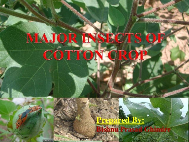 Major Insect of cotton