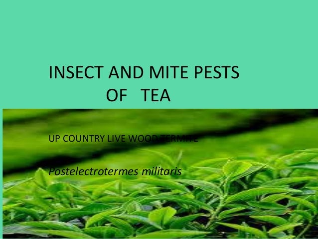 INSECT AND MITE PESTS OF TEA UP COUNTRY LIVE WOOD TERMITE  Postelectrotermes militaris