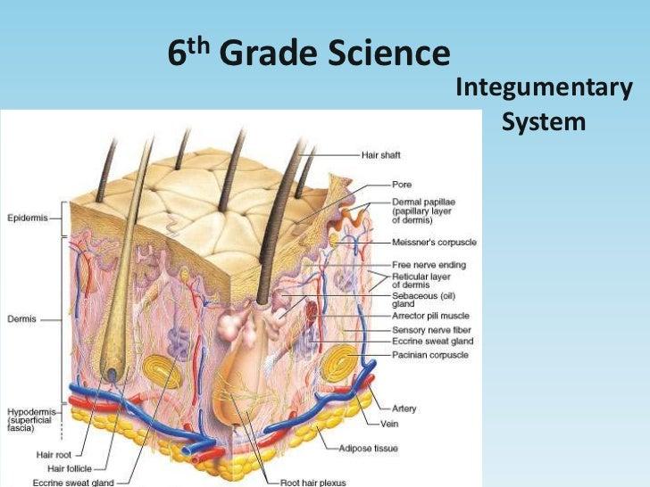 6th Grade Science<br />Integumentary System<br />