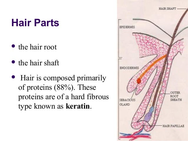 Pics For > Integumentary System Hair