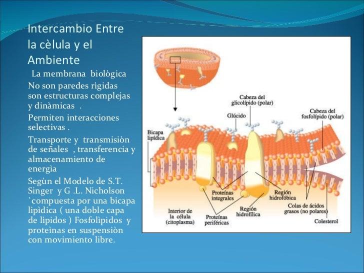 Intercambio Entre la cèlula y el Ambiente  <ul><li>La membrana  biològica  </li></ul><ul><li>No son paredes rìgidas  son e...