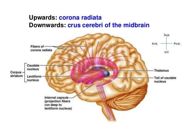 Internal Capsule-Anatomy