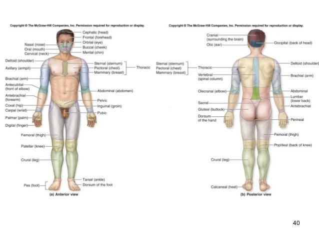 Anatomy regional terms