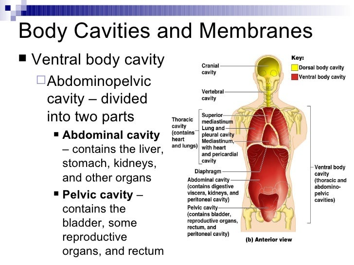 Intro To Anatomy Powerpoint Presentation on what are the organs in body cavities