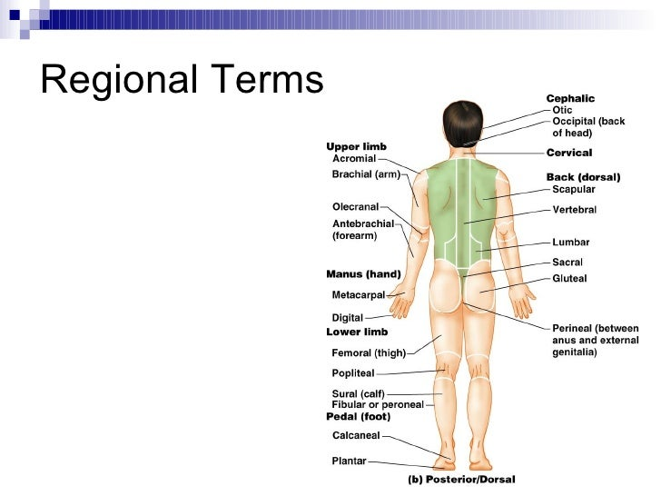 Perineal region anatomy