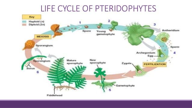 Pteridophytes life cycle