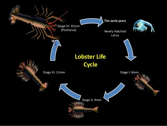 Introduction to lobster & its fishery