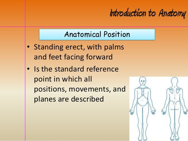 Anatomical Position Introduction to Anatomy • Standing erect, with palms and feet facing forward • Is the standard referen...