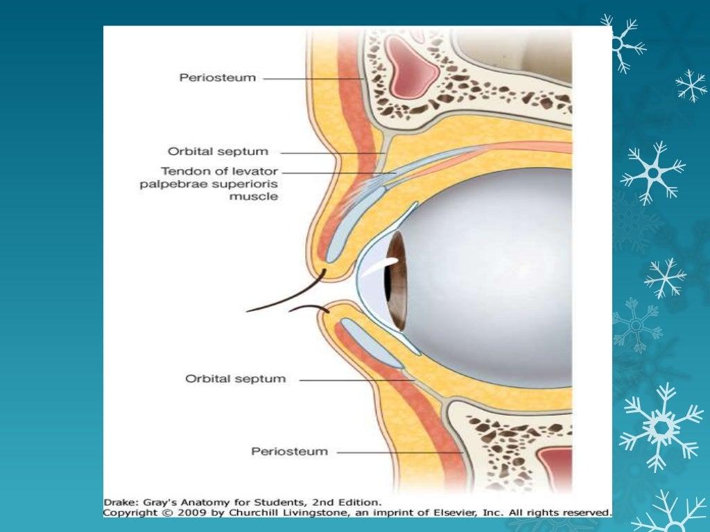Eyelid Anatomy Tarsal Plate