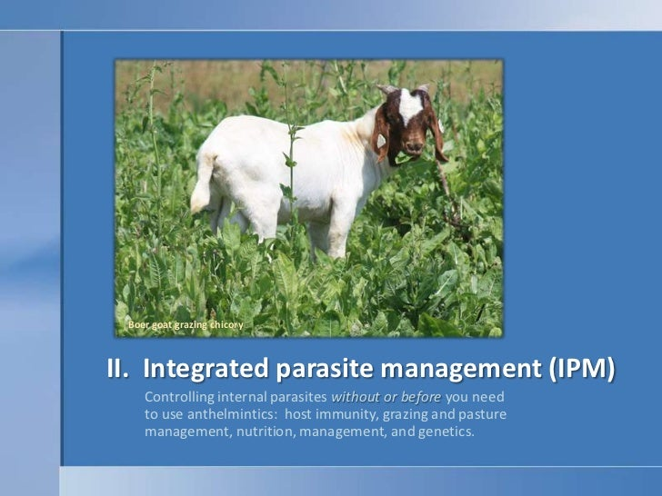 Boer goat grazing chicory<br />II.  Integrated parasite management (IPM)<br />Controlling internal parasites without or be...