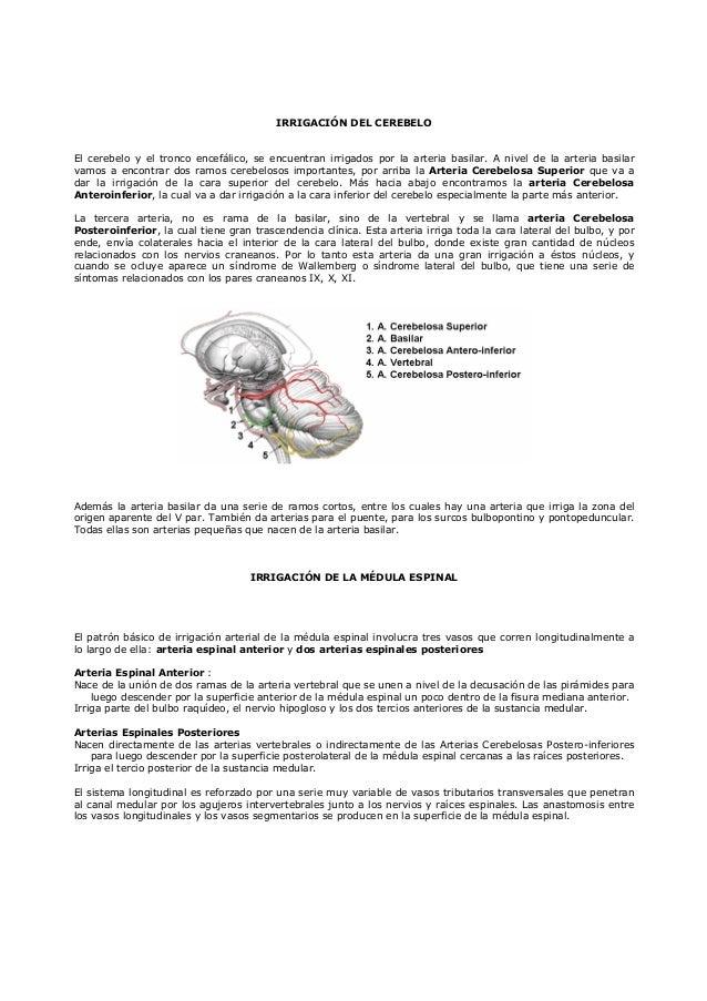 Irrigaci 243 n arterial y venosa del cerebro y m 233 dula