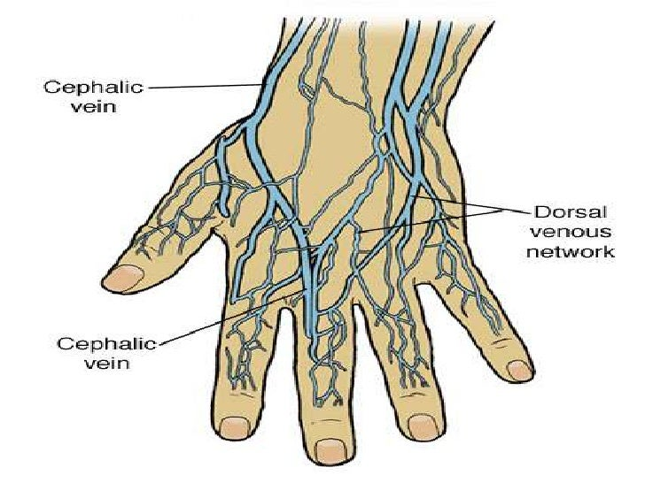 dorsal venous arch hand, Cephalic Vein