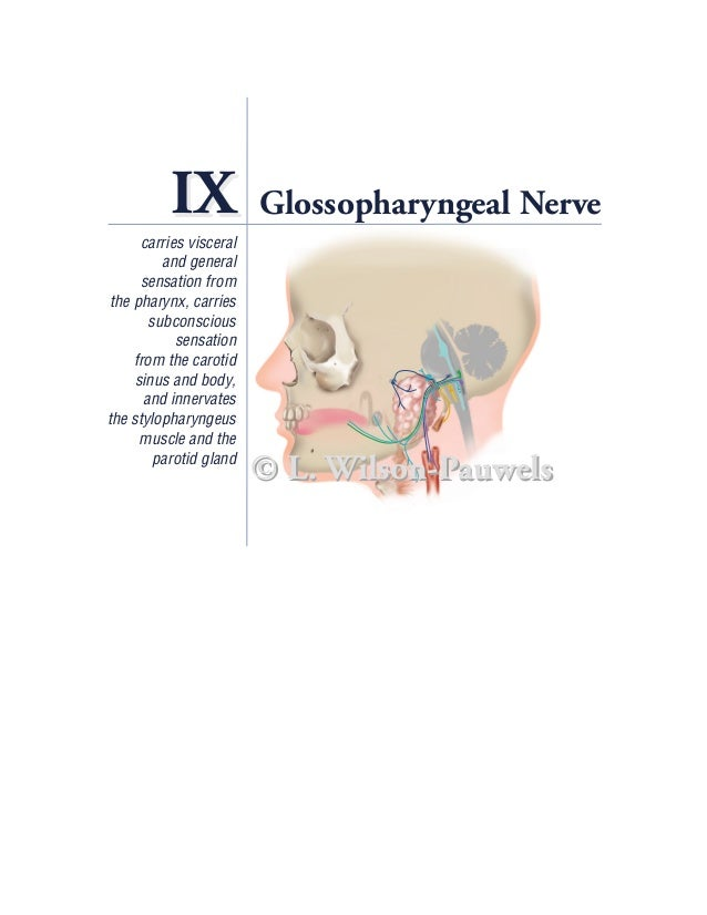 IX             Glossopharyngeal Nerve      carries visceral          and general      sensation from the pharynx, carries ...