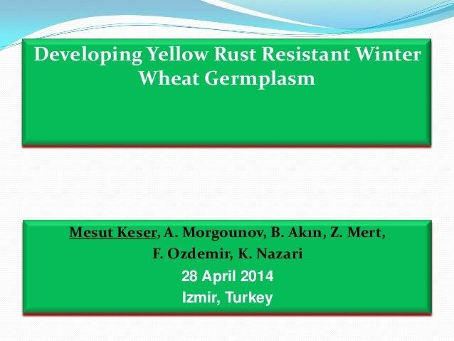 Developing Yellow Rust Resistant Winter Wheat Germplasm Mesut Keser, A. Morgounov, B. Akın, Z. Mert, F. Ozdemir, K. Nazari...