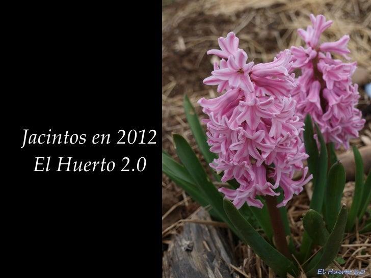 Jacintos en 2012 El Huerto 2.0