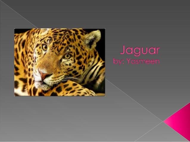 Jaguar #13