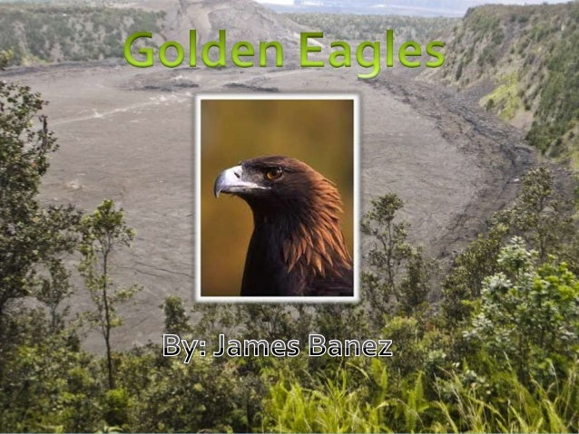 The Golden EagleGolden eagles get their name from the golden-brown plumage on their heads.These majestic birds of prey liv...