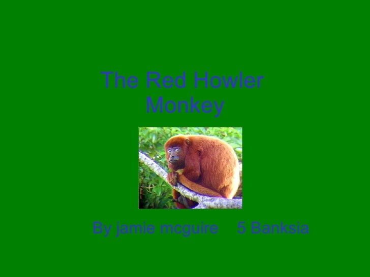 The Red Howler  Monkey By jamie mcguire  5 Banksia