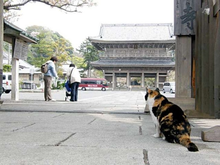 Japanese cat (v.m.)