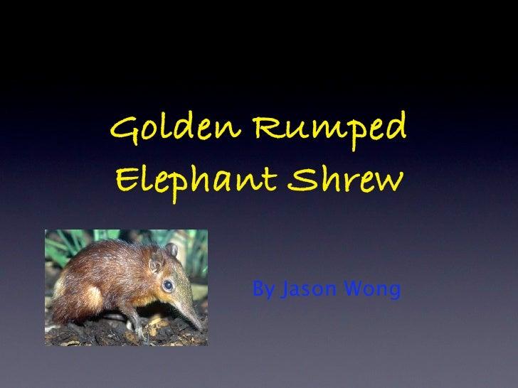 Golden Rumped Elephant Shrew        By Jason Wong