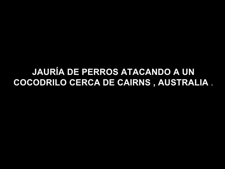 JAURÍA DE PERROS ATACANDO A UN COCODRILO CERCA DE CAIRNS , AUSTRALIA  .