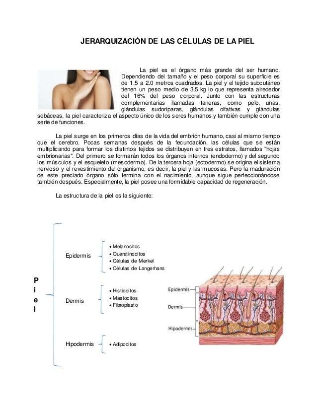 JERARQUIZACIÓN DE LAS CÉLULAS DE LA PIEL  La piel es el órgano más grande del ser humano.  Dependiendo del tamaño y el pes...