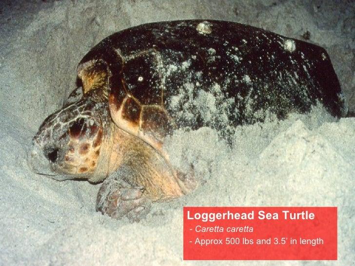 <ul><li>Loggerhead Sea Turtle </li></ul><ul><li>- Caretta caretta </li></ul><ul><li>- Approx 500 lbs and 3.5' in length </...
