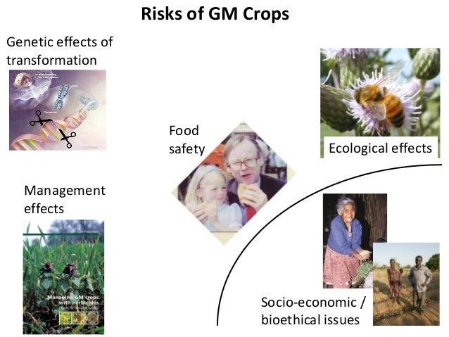 Risks of GM crops