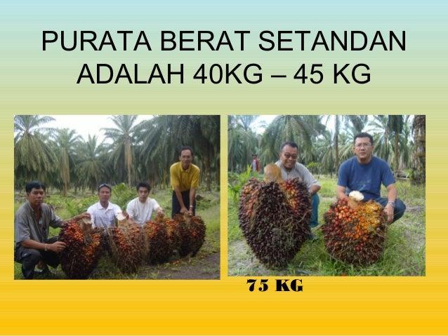 PURATA BERAT SETANDAN ADALAH 40KG – 45 KG 75 KG