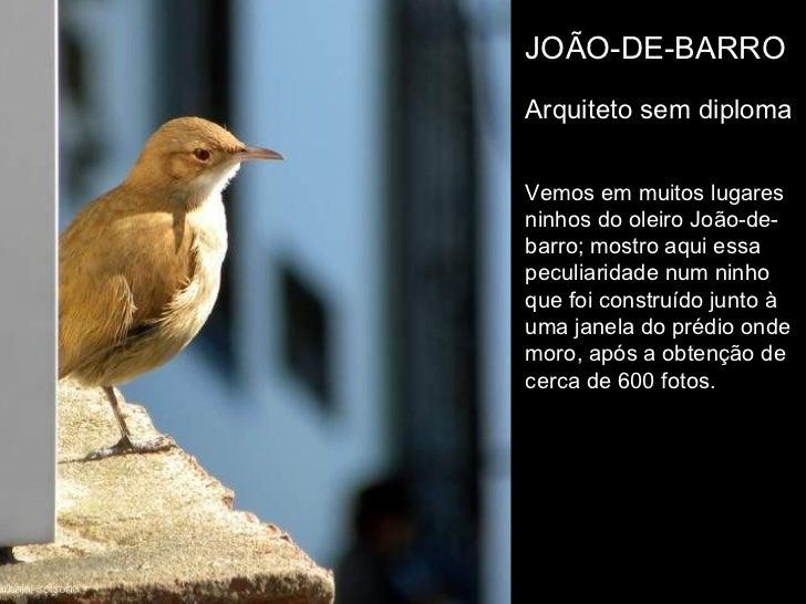 JOÃO-DE-BARROArquiteto sem diplomaVemos em muitos lugaresninhos do oleiro João-de-barro; mostro aqui essapeculiaridade num...