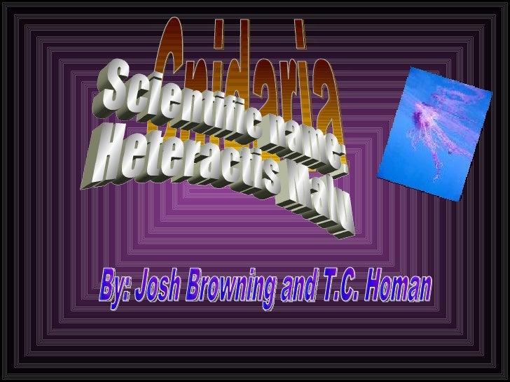 By: Josh Browning and T.C. Homan Cnidaria Scientific name: Heteractis Malu